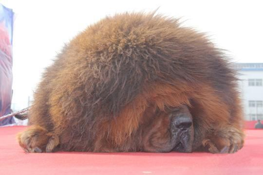 Tibetan mastiff exhibition in Hebei, several mastiffs cost more ...