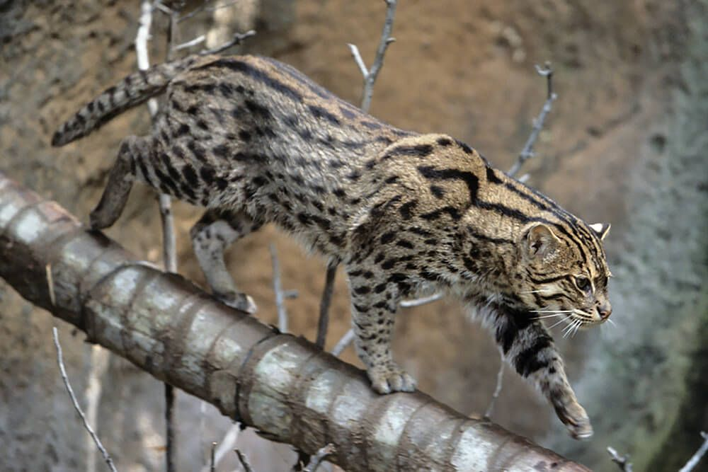 Fishing Cat Pictures Fishing Cat S Short Stocky Body Is Tailor Made For Hunting In The Small Wild Cats Wild Cat Species Animals