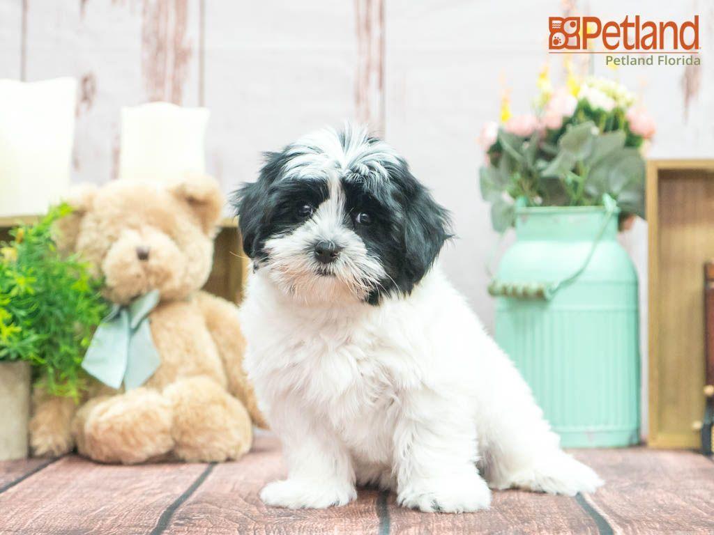 Puppies For Sale Morkie Puppies For Sale Morkie Puppies Puppies
