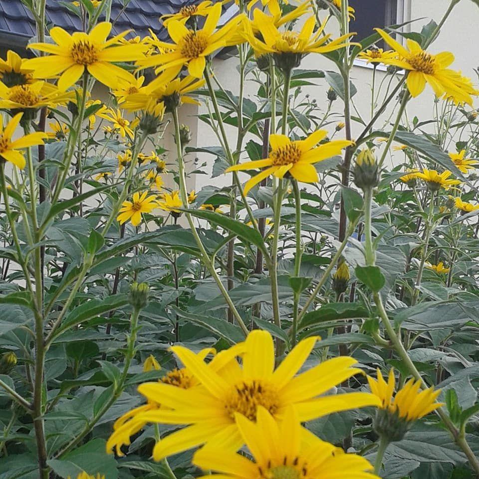 Topinambur Gemusepflanze Blumen Flowers Gartenfreunde Garten Garden Nutzgarten Gartenliebe Gartengestaltung Garde Garten Gartengestaltung Sommerblumen