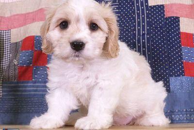 Lovely Cavachon Puppy Cavachon Puppies Cavachon Puppies