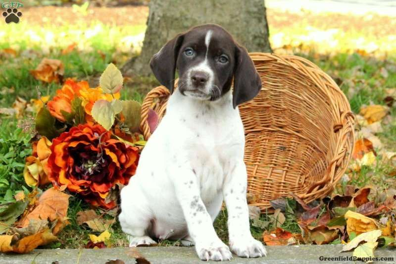 Demi german shorthaired pointer puppy for sale in