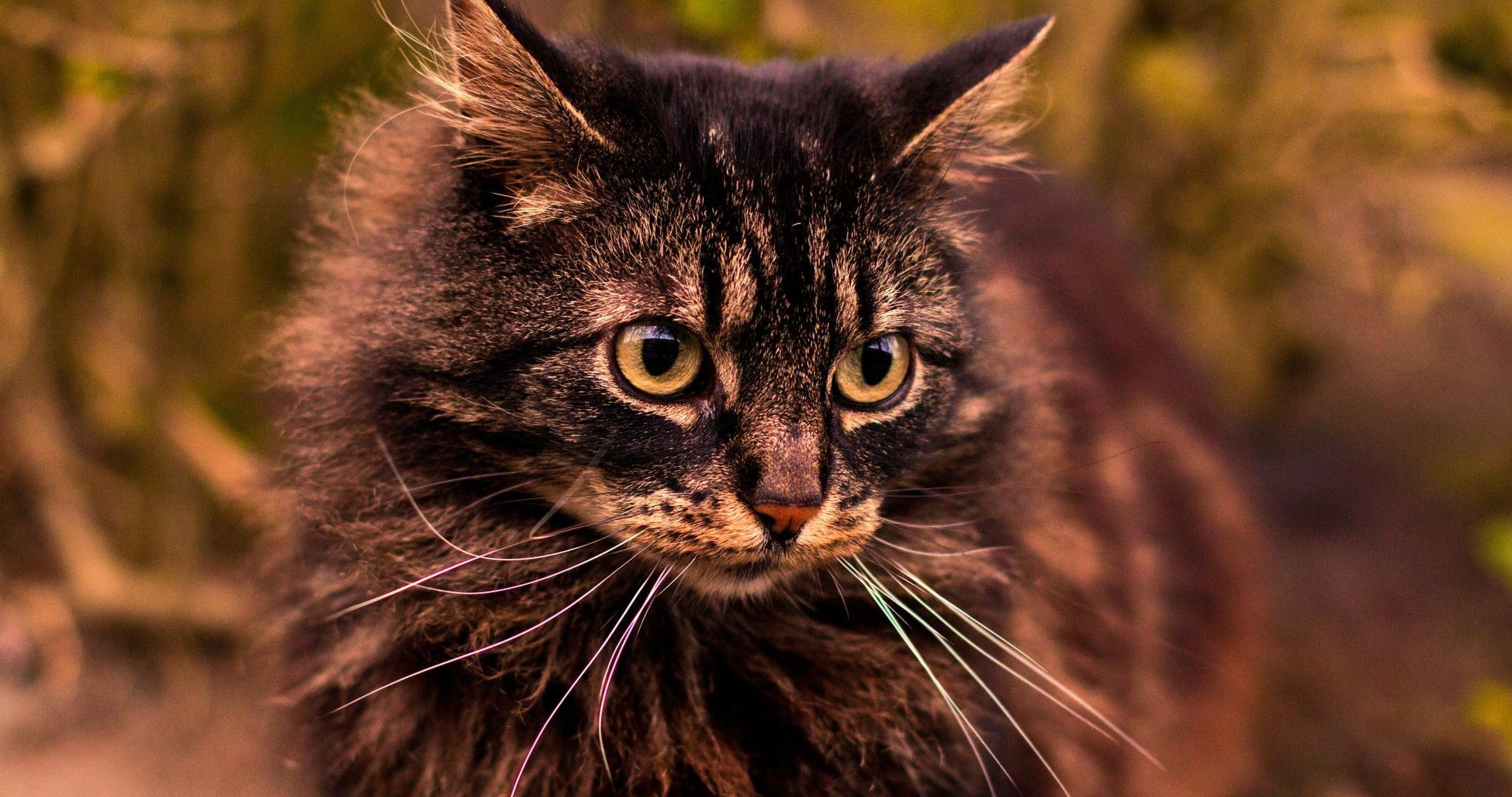 Gray Fluffy Cat 55 4k Ultra Hd Wallpaper Fluffy Cat Cat