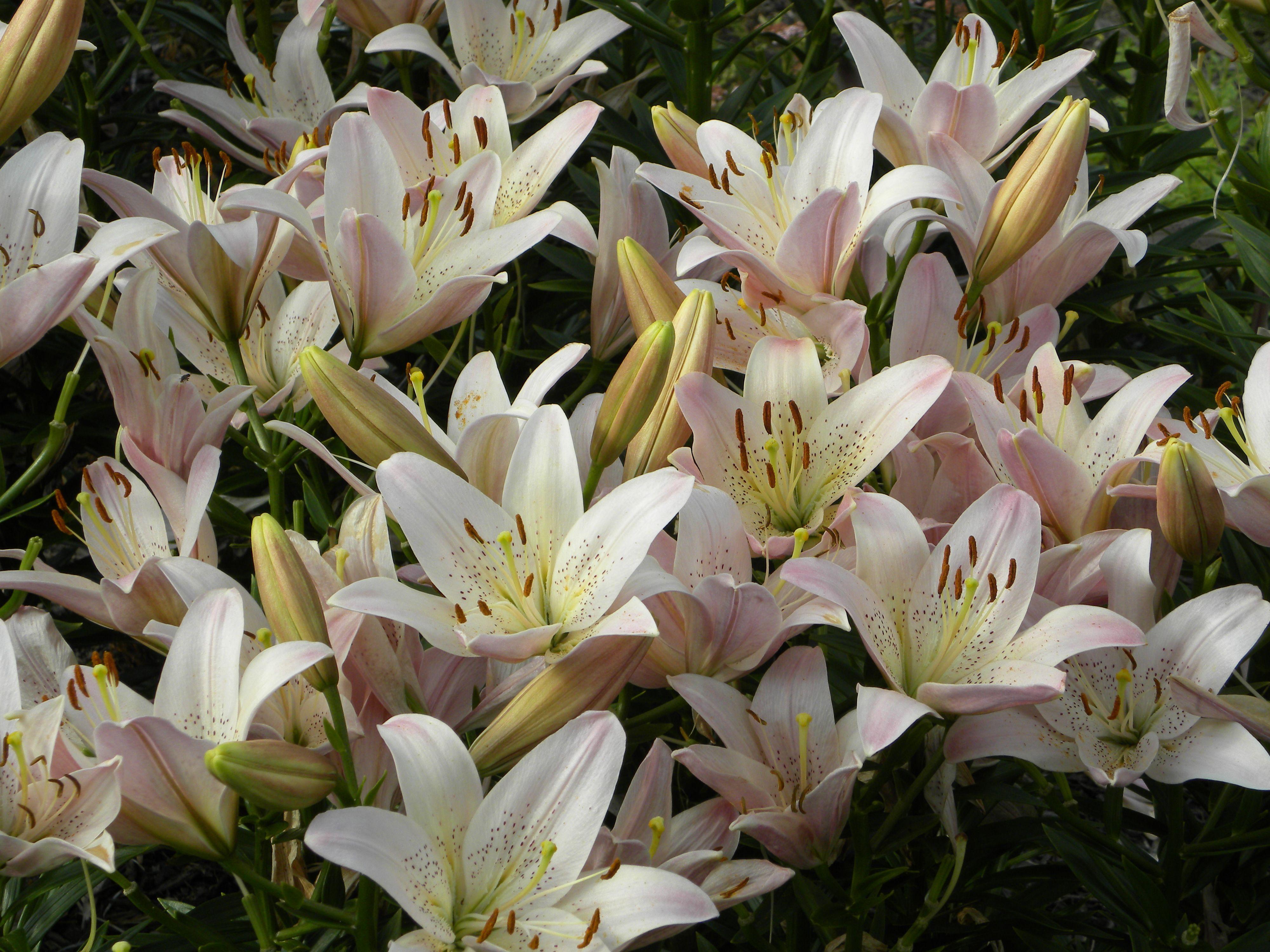 Backyard lilies cest tres belle pinterest backyard flower backyard lilies izmirmasajfo