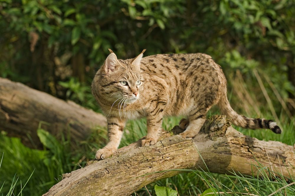 felis silvestris ornata Google Search Katzenarten