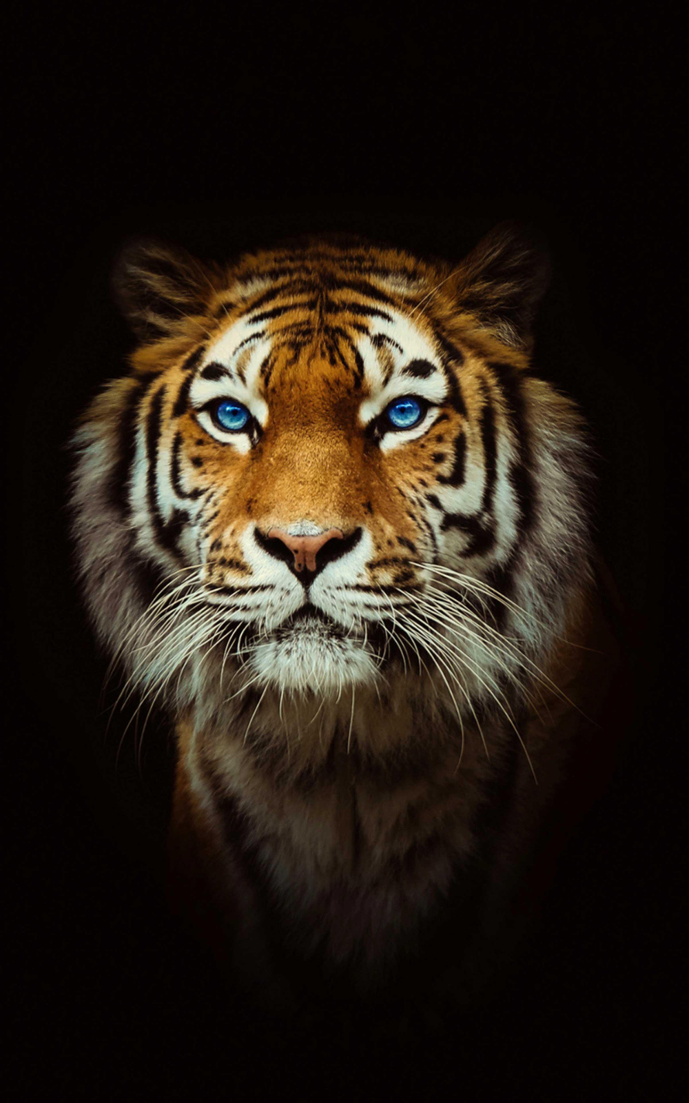 Tiger Wallpaper 4k Best Cool Tiger Tiger Wallpaper Tiger Wallpaper Iphone Tiger Pictures