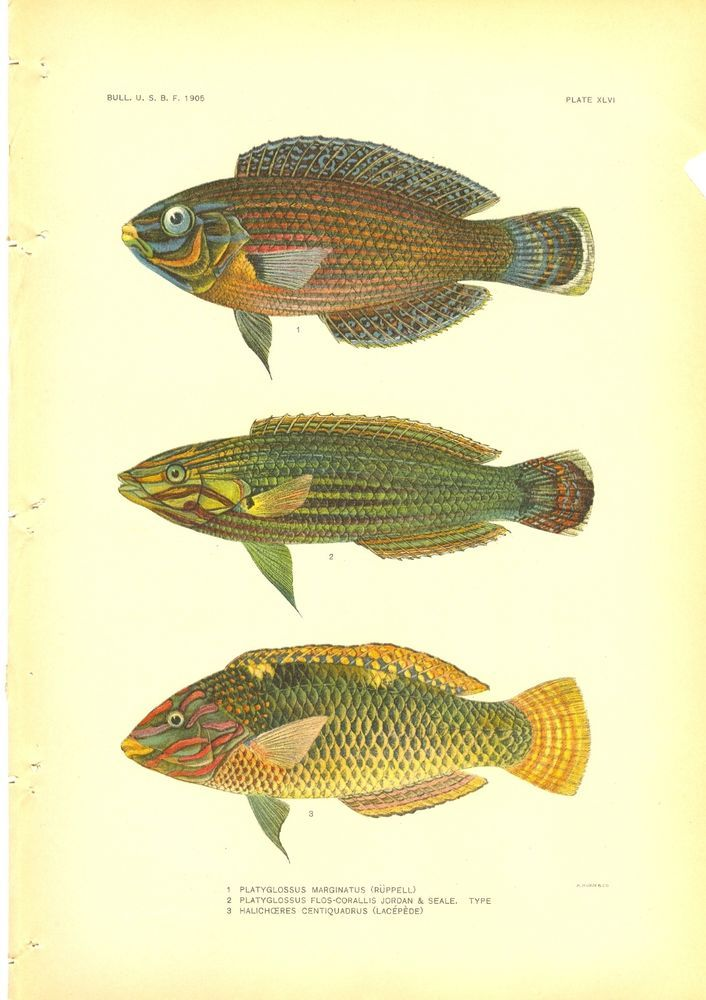 Rare 1905 Hoen Fish Print ~ Damselfish XLVI  | eBay