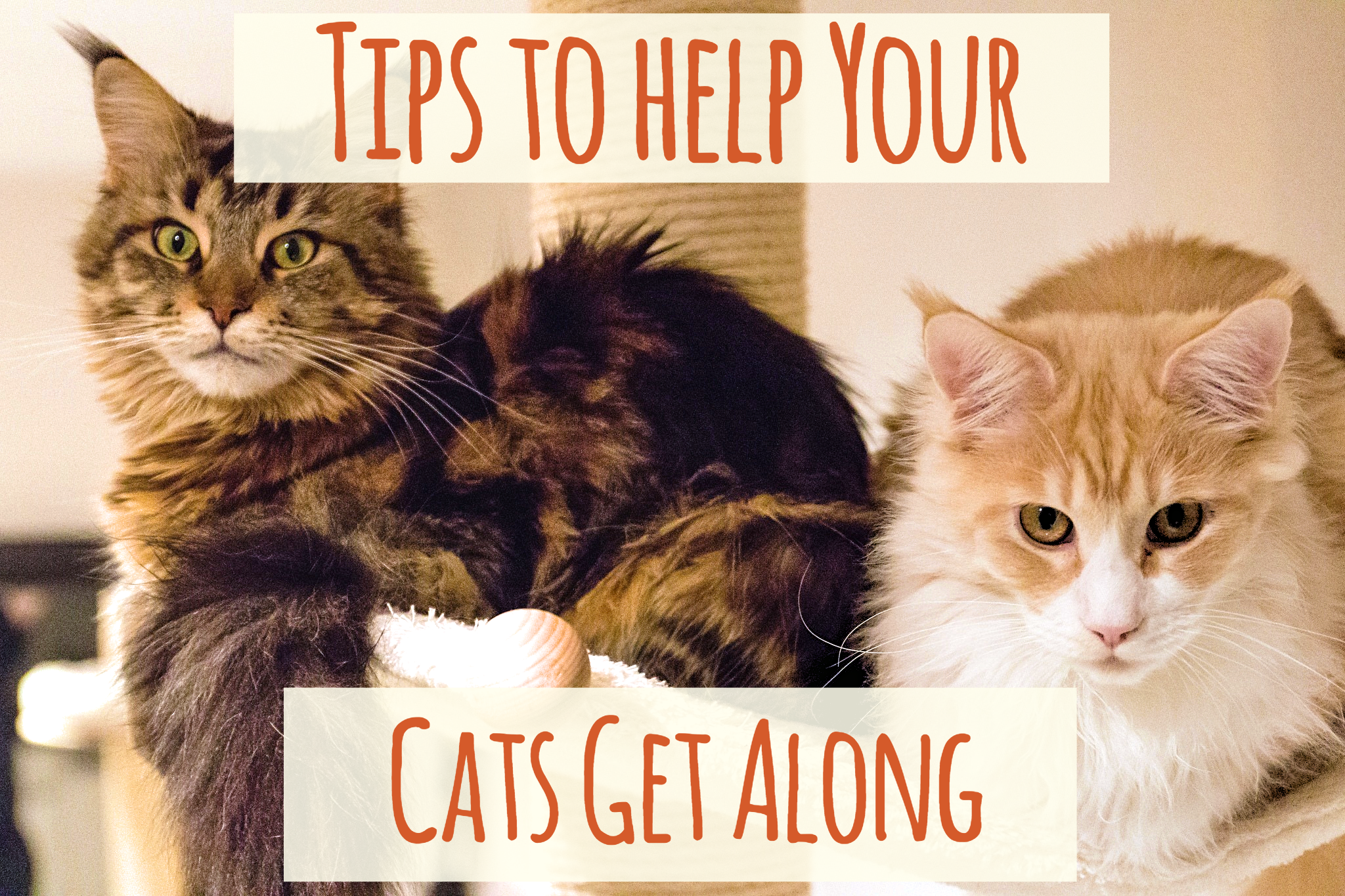 Are Your Cats Not Getting Along Find Out The Many Reasons Why New Or Existing Cats Are Fighting And Try Some Of Cat Training Cat Training Scratching Cat Care