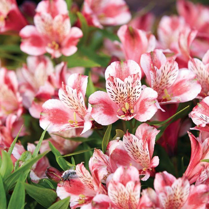 Roxanne Alstroemeria Alstroemeria Flower Identification Flowers