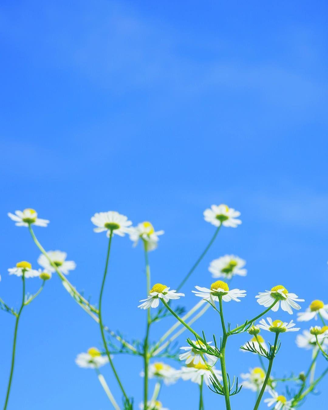 青空に向かって  どこに時計が付いているのかな?植物は自分が咲く時が来ると青空に向かって伸びていく。 植物の力ってスゴイ‼️ ※ ※ #はなまっぷ #α6000 #ソニー #ファインダー #ファインダー越し私の世界 #flowergirl #flowers #flowerslovers #flowerstagram #flowerslovers #flower_special_ #nature_special_ #nature #naturephotography #カメラ初心者 #カメラ女子部 #東京カメラ部 #カメラのキタムラ #キタムラ写真投稿 #関西カメラ部 #カメラ好きな人と繋がりたい #ファインダー越し私の世界 #ファインダー #空 #青空 #jp_views_flowershot http://gelinshop.com/ipost/1517780623580809114/?code=BUQPW-DgUea
