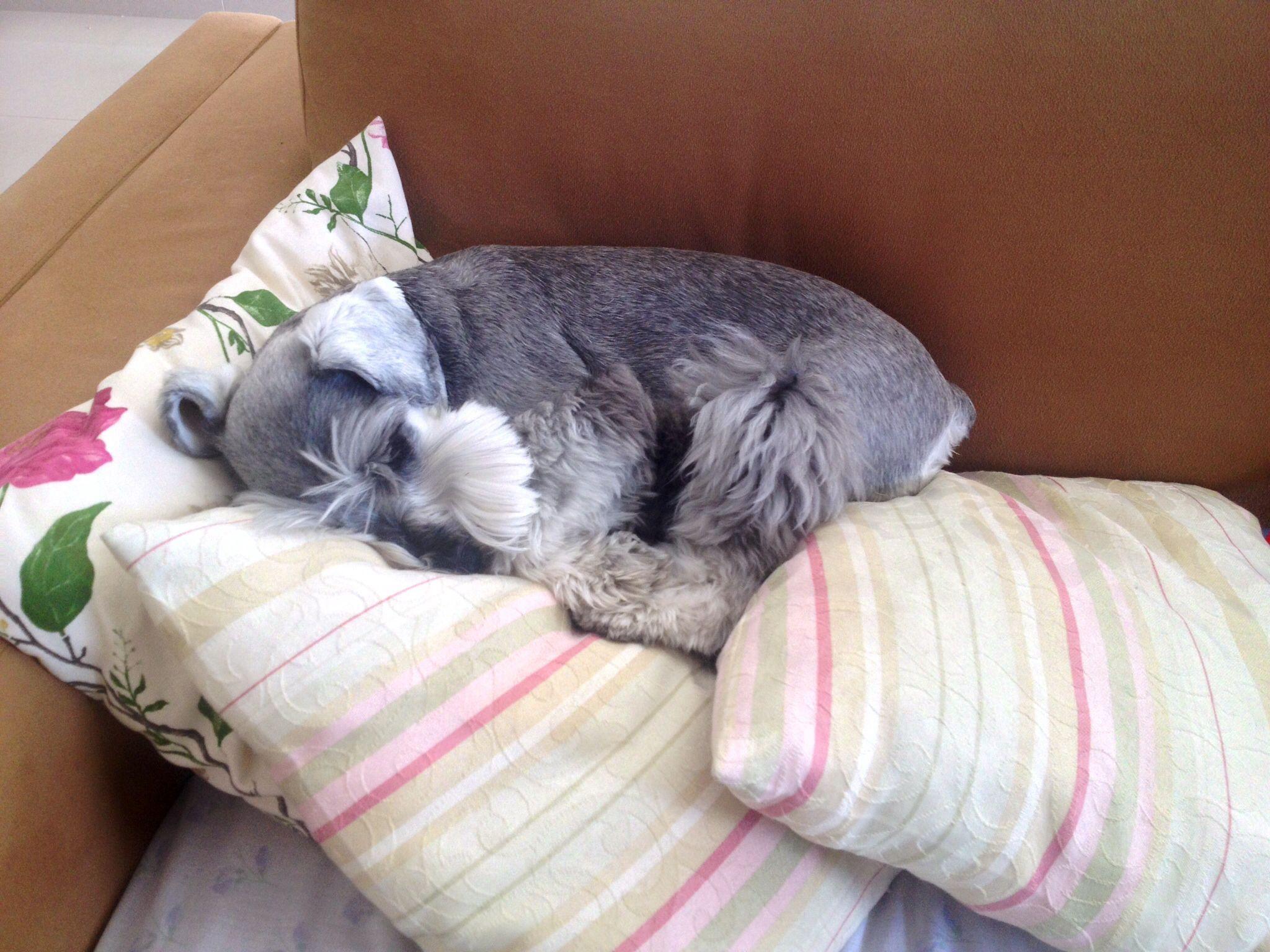 Resultado de imagen para Schnauzer Hund schlafend