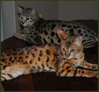 F1 F2 F3 F4 F5 Savannah Cats For Sale Kitten Breeders Tx