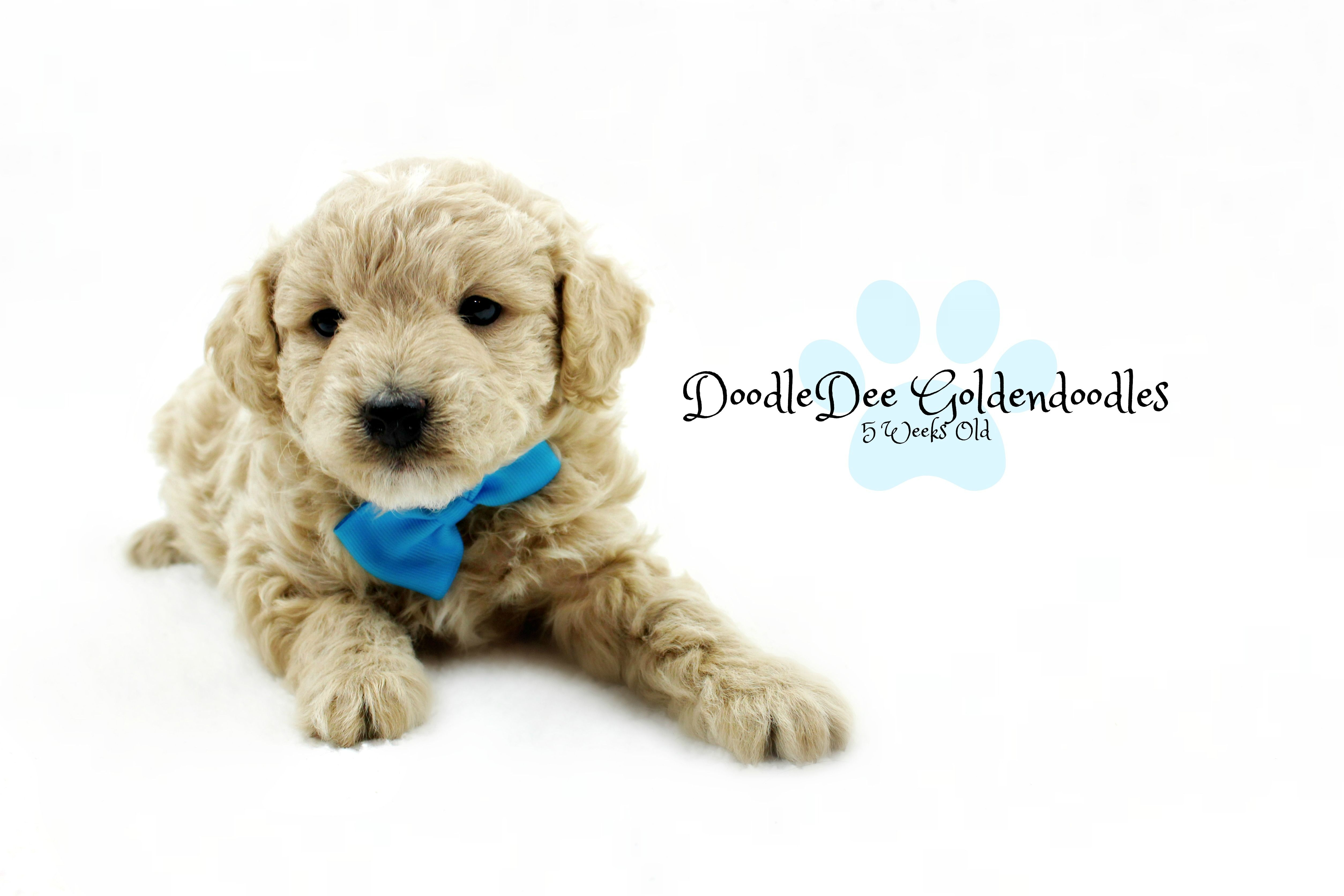 F1B MicroMini Goldendoodle Male AVAILABLE