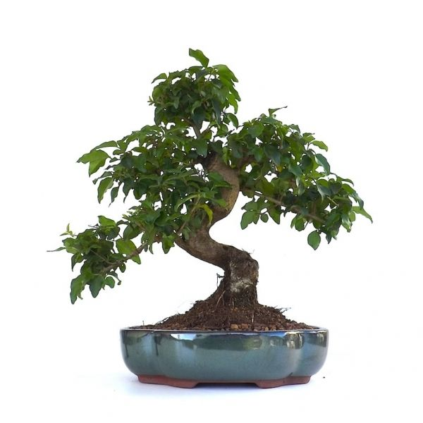 acheter en ligne ce tr s joli bonsai d 39 int rieur ligustrum chinensis de 36 cm 140201. Black Bedroom Furniture Sets. Home Design Ideas