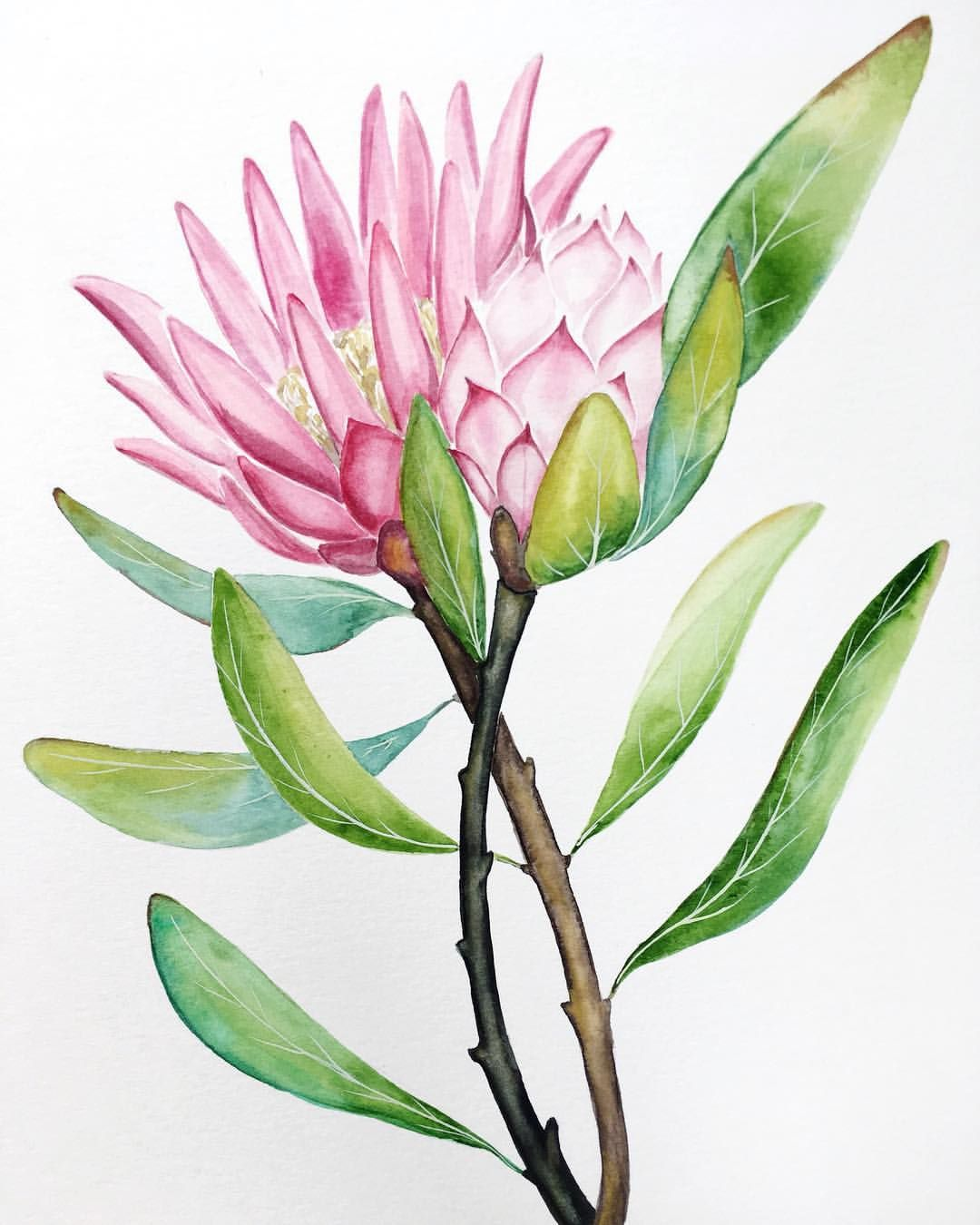 King Protea Watercolor Tropical Floral Art Watercolor Flowers By Sonoranwatercolors Protea Art Flower Art Flower Painting