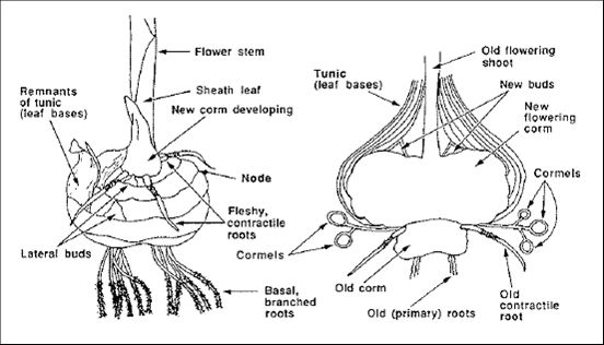 Diagram of Gladiolus Corm. Visit page for a wealth of
