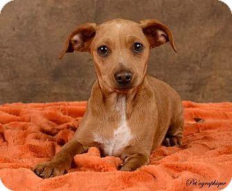 Henderson Nv Dachshund Beagle Mix Meet Little Man Chestnut A Dog For Adoption Dachshund Mix Dachshund Adoption Dog Adoption