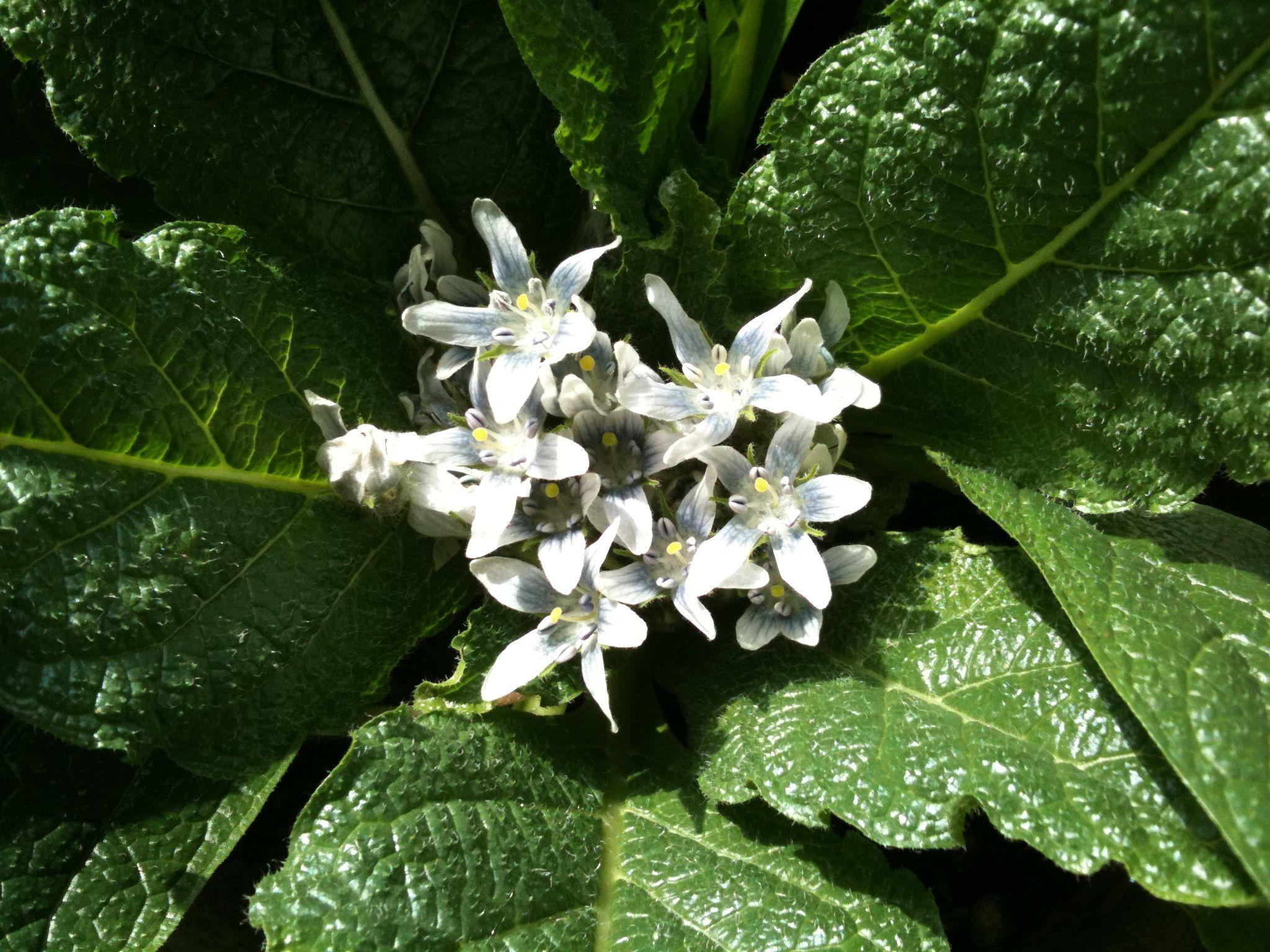 Bluhende Alraune Heilpflanze Heilpflanzen Gesunde Krauter Pflanzen