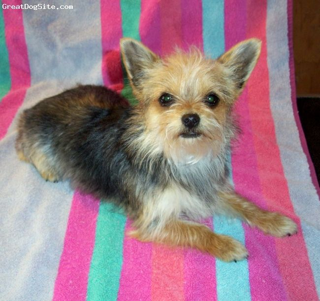 Chorkie Chihuahua Yorkie Mix I Wonder If This Is What Muffin Is Because Muffin Is A Gray Version Of This Dog Yorkie Mix Dog Breeds Designer Dogs Breeds