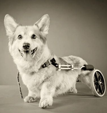 M Disabled dogs are such great examples for the rest of us. They are cheerful despite their limitations.                                carli-davidsons-disabled-pets/