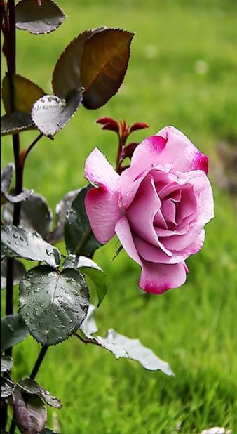 eb31b7b689b2 Kittike oldala - G-Portál | Rózsák / Roses | Rózsa, Virágok