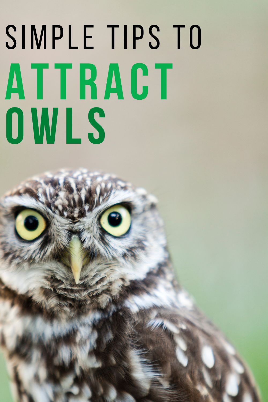 Simple Tips To Attract Owls To Your Backyard Owl Backyard Birds Wild Birds