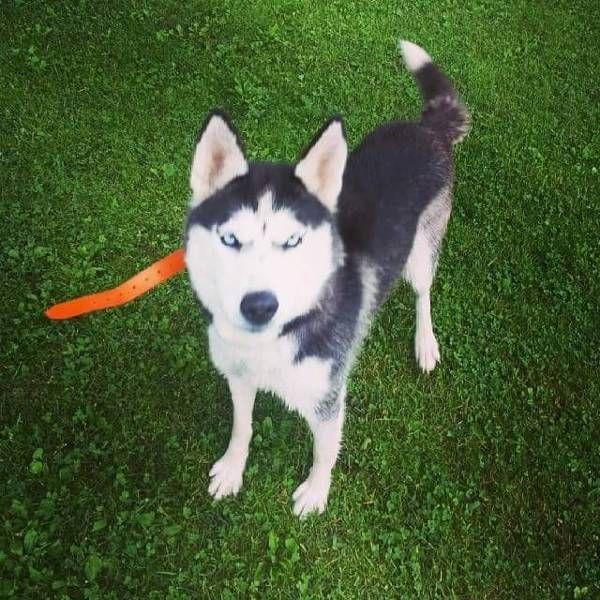 Lost Dog Siberian Husky In Harpursville Ny Pet Name Denali Id