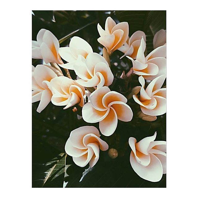 s u n d a y  x . . . . . #bellamummablooms #flowers #flower #petal #petals #nature #beautiful #love #pretty #blossom #sopretty #flowersofinstagram #flowerstyles_gf #flowerslovers #flowerporn #bride #floral #florals #flowermagic #instablooms #bloom #blooms #botanical #floweroftheday #love #frangipani #weekend
