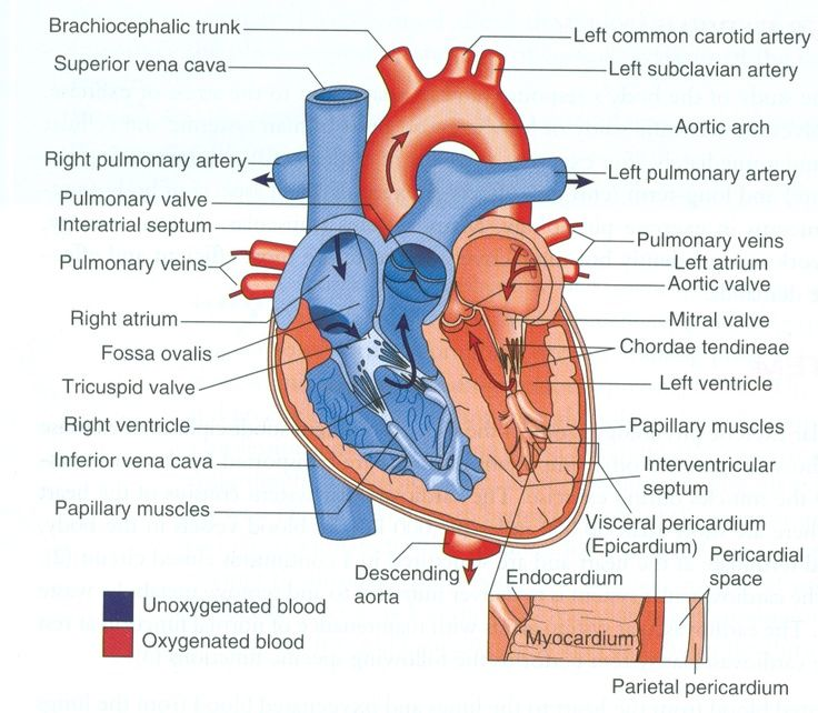 Diagram Of The Human Heart Heart Diagram Heart Anatomy Anatomy And Physiology