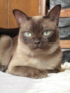 Tonkinese Photo Contest 2009 Winners Tonkinese Cat Burmese Cat Cute Animals