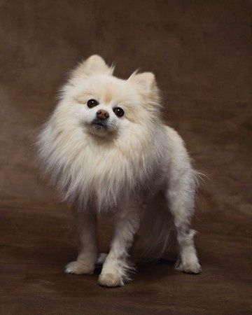 Tinks Going To Get A Lion Cut This Summer Pomeranian Haircut Pomeranian Puppy