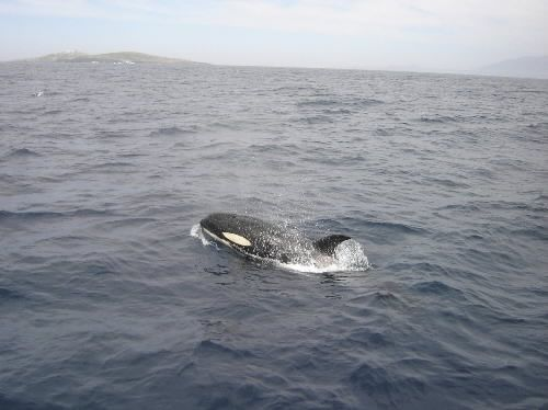 Killer whales have been spotted near Montague Island, the second time in as many years after a long hiatus. photo credit