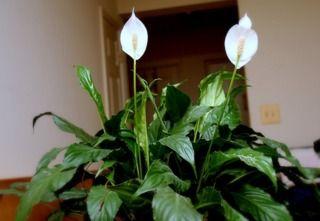 Spathiphyllum En Interieur Plante Interieur Plante Verte Et