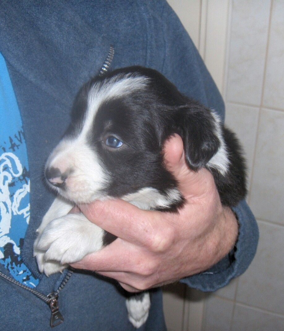 Joep 4 Week Dog Cat Border Collie Dogs