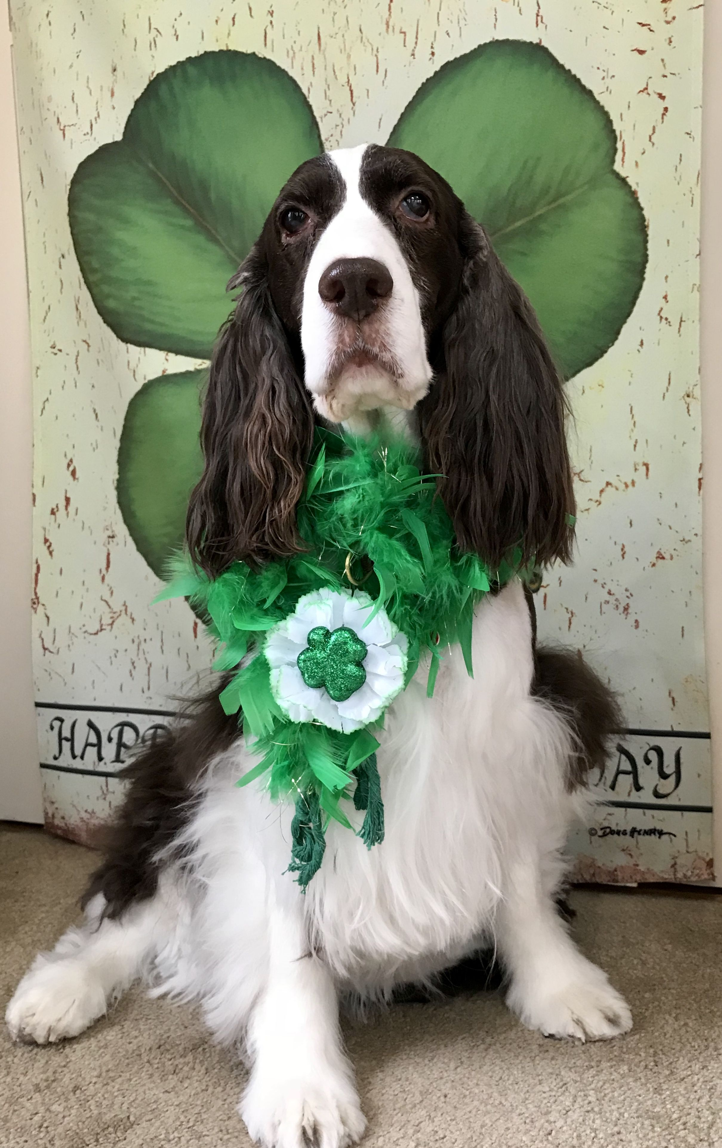 Pin By Victoria Morton On Springers In 2020 English Springer Spaniel Springer Spaniel English Springer