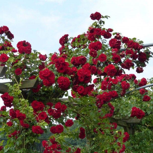 rosier grimpant amadeus roses pinterest rosier vigoureux et rosiers grimpants. Black Bedroom Furniture Sets. Home Design Ideas