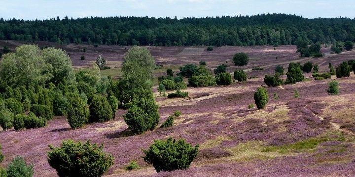 Lüneburger Heide, Northern Germany, Germany, Europe