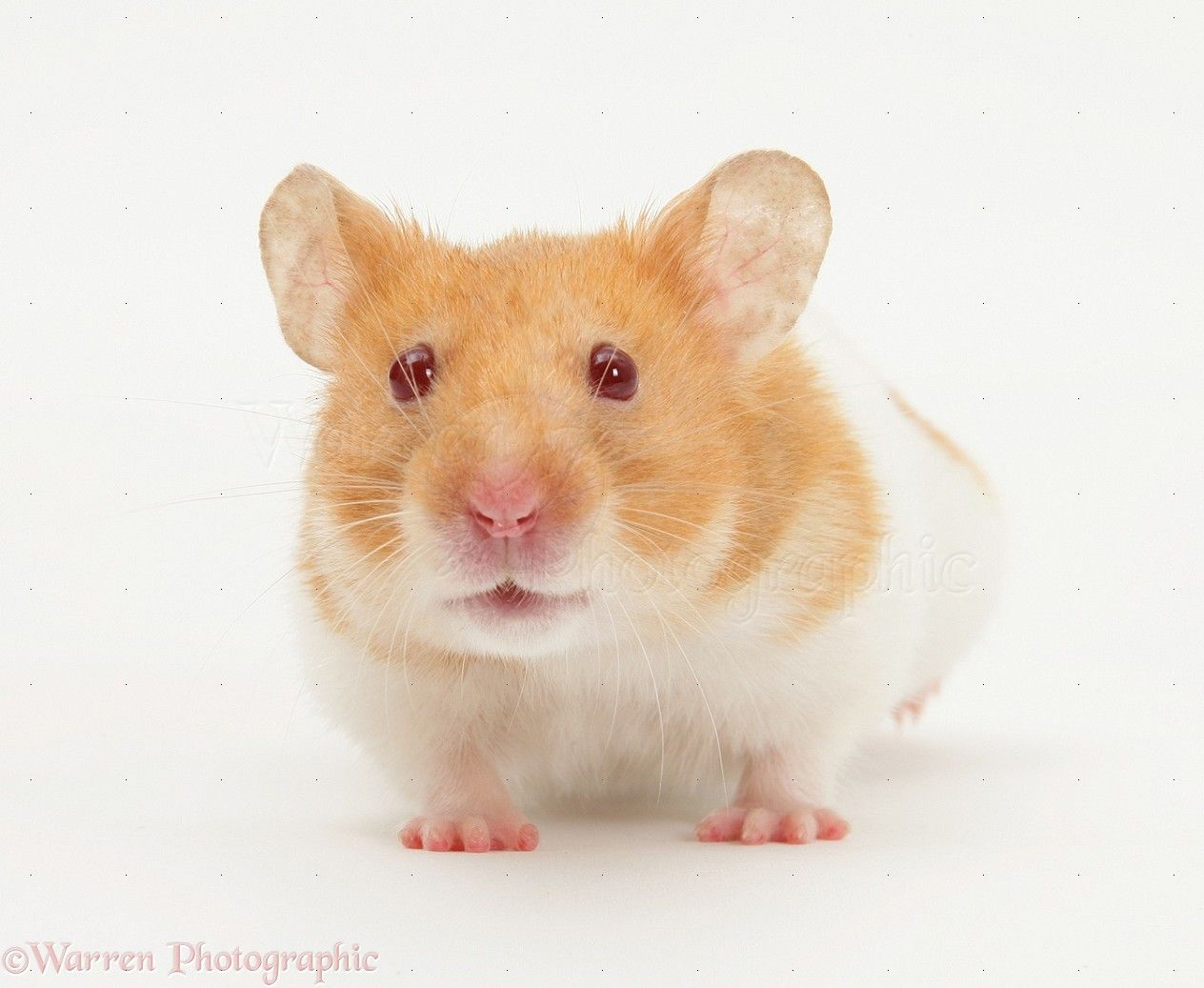 All About Syrian Teddy Bear Hamster Bear Hamster Cute Hamsters Hamster Live