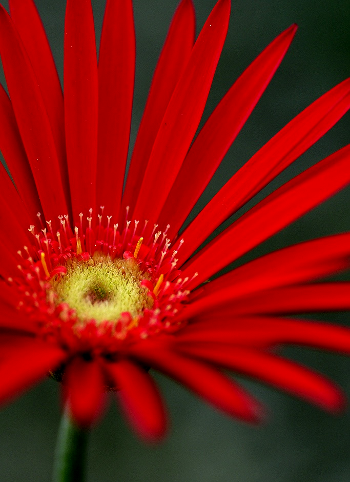 Pin By Sandylouise On Flora And Fauna Red Petals Flowers Red Flowers