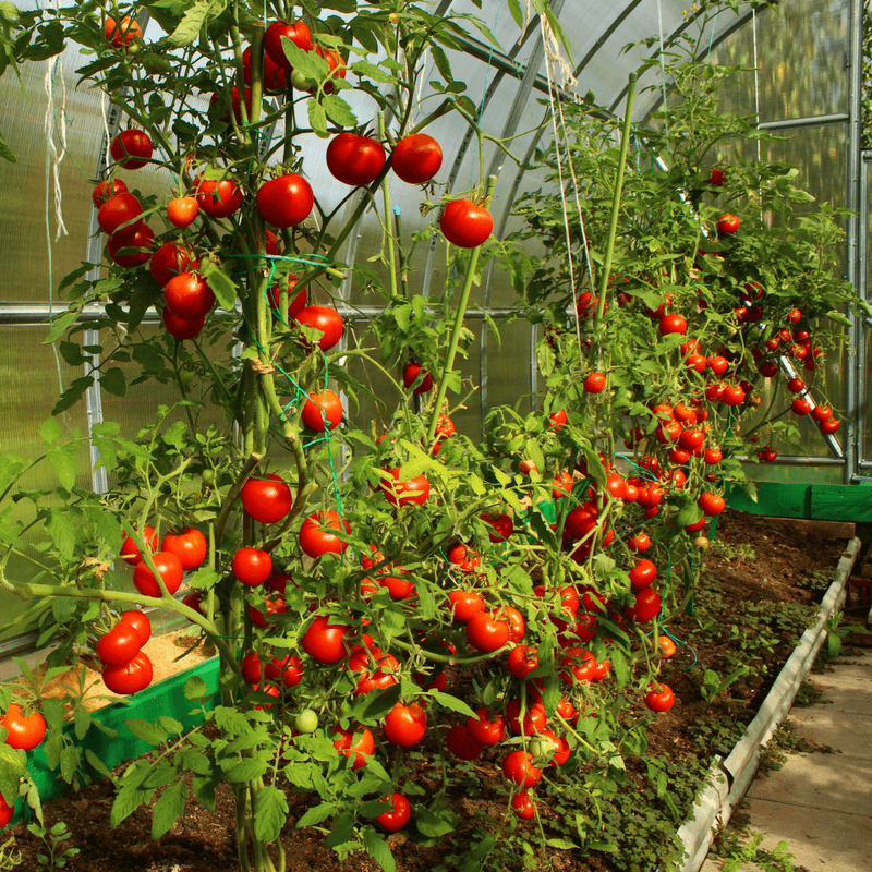 3 Ways How Far Apart To Plant Tomatoes For A Successful Harvest Types Of Tomatoes Plant Spacing Tomato Garden