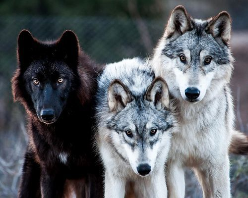 3 man wolf pack