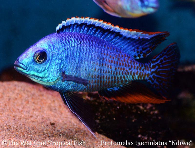 Protomelas Protomelas Taeniolatus Ndiwe Fire Blue Real Malawi Cichlids African Cichlids Cichlids