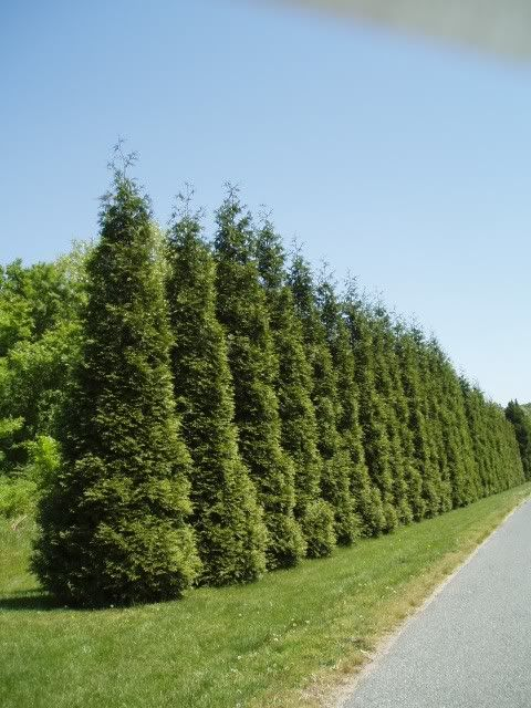 Thuja Green Giant Grows Roximately 3 Feet Each Year