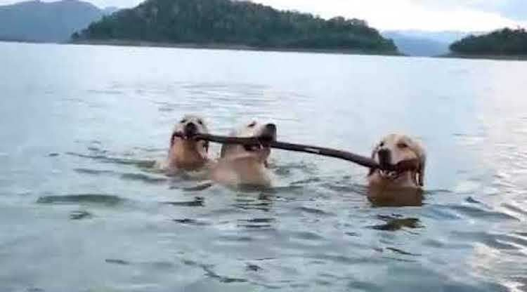 Three Dogs Walk Alongside Each Other In Shallow Water Carrying The
