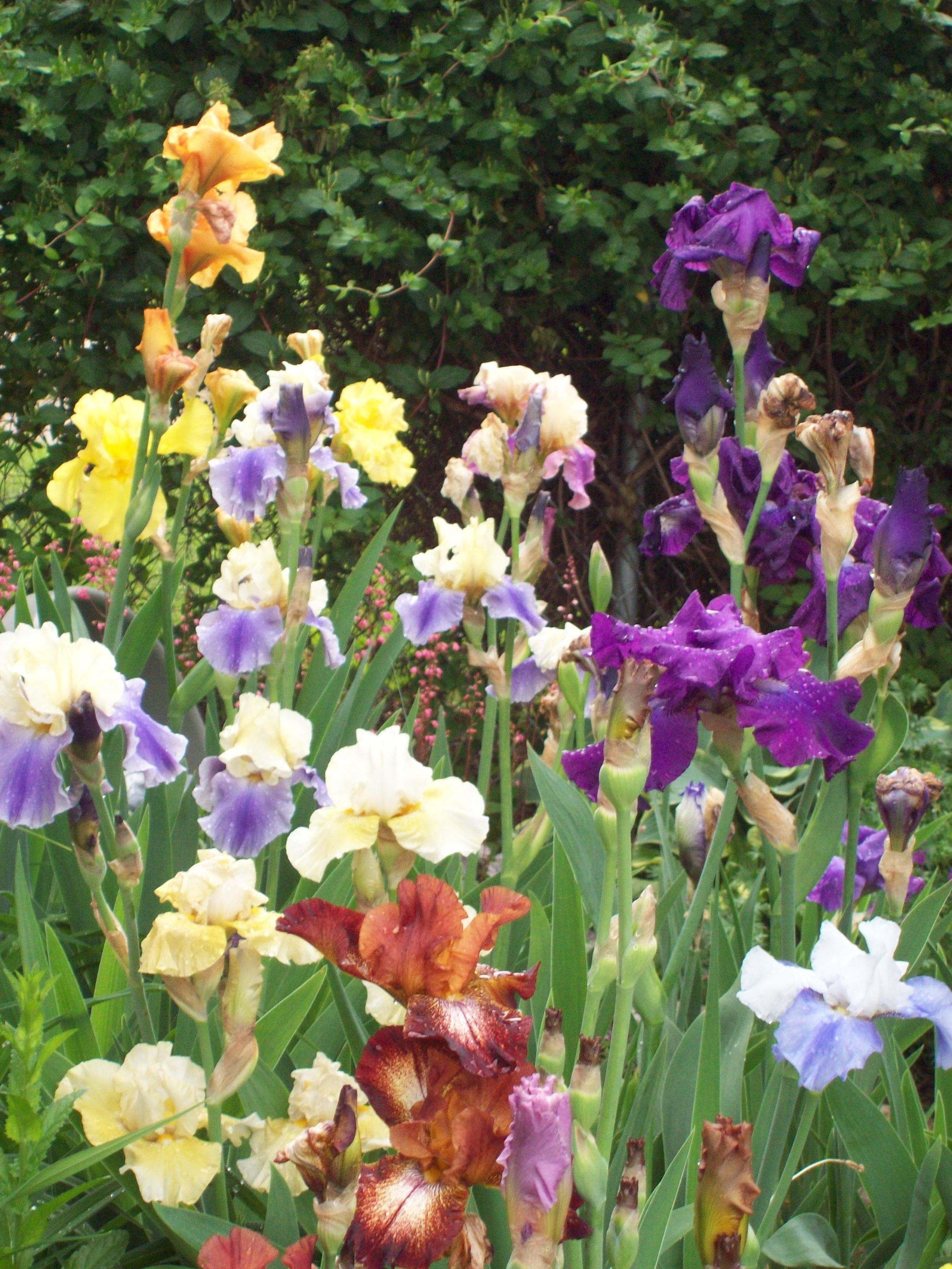 Here we have my favorite flower irises seen in my absolute here we have my favorite flower irises seen in my absolute favorite color variation the wild riot someday i will have them in my garden space izmirmasajfo Gallery