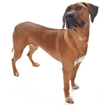 Rhodesian Ridgeback Fancy Dog Pets Dogs Breeds Dogs