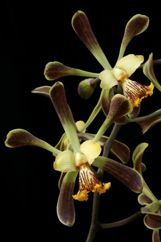 Encyclia alata - Copyright © 2005 Asociación Mexicana de Orquideología, A.C.