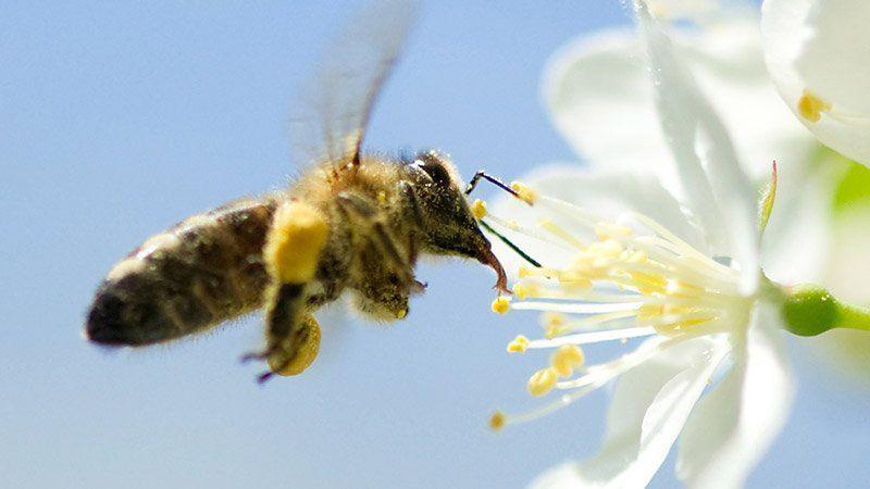 Bienen Partner gefährliche neonicotinoide die leistung der bienen der bienen
