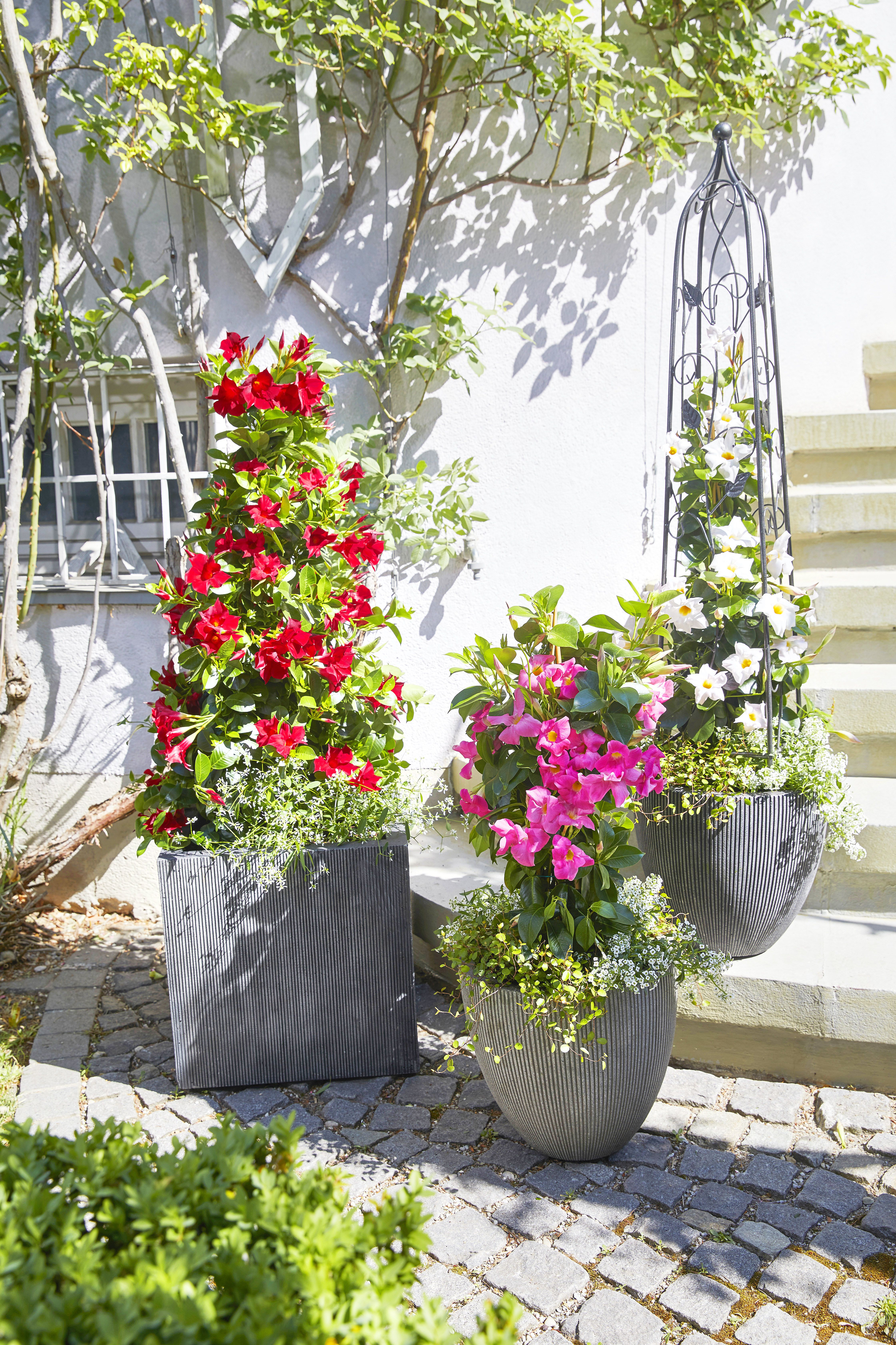 Hubsche Dipladenien Blumenkasten Bepflanzen Winterharte Blumen Sommerblumen