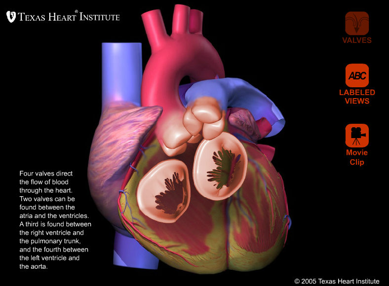 Heart Valve Anatomy: 3-D view and movie clip on the way the heart ...